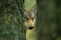 Loup-arbre.jpg